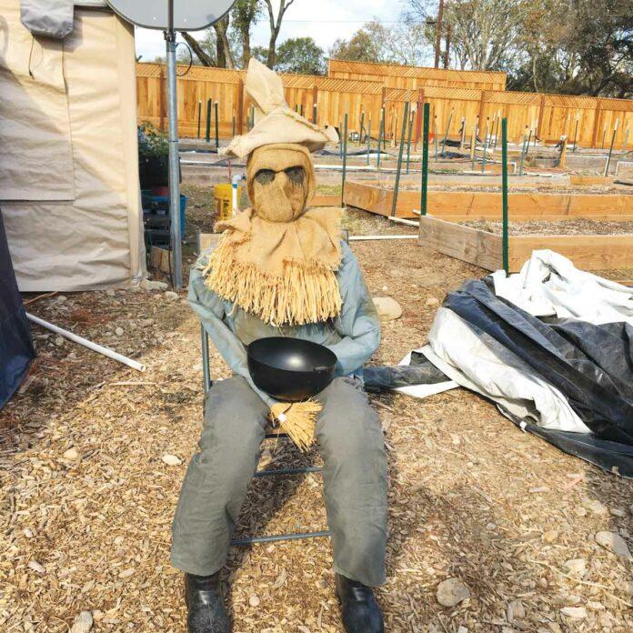 marijuana scarecrows