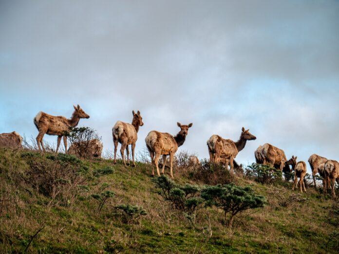 Tule elk point reyes national seashore