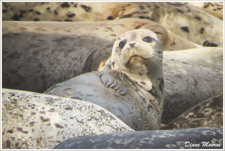 2021 Pinniped Monitoring Volunteer Training/Q&A Session