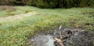 Tule Elk Point Reyes National Seashore drought