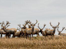 Tule Elk - Point Reyes National Seashore