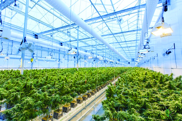 Farm Report—Cannabis Growing Pains